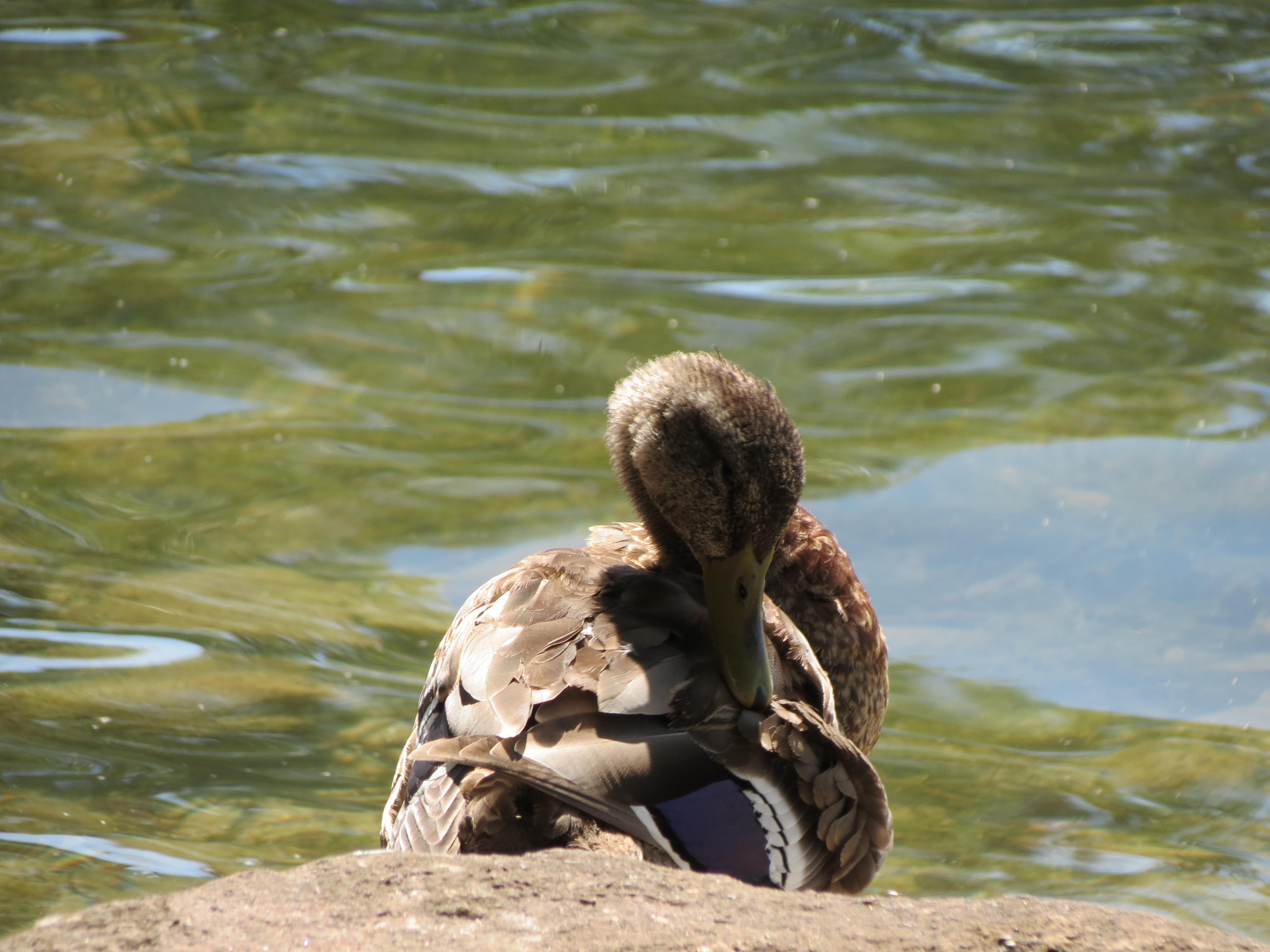 Duck_grooming