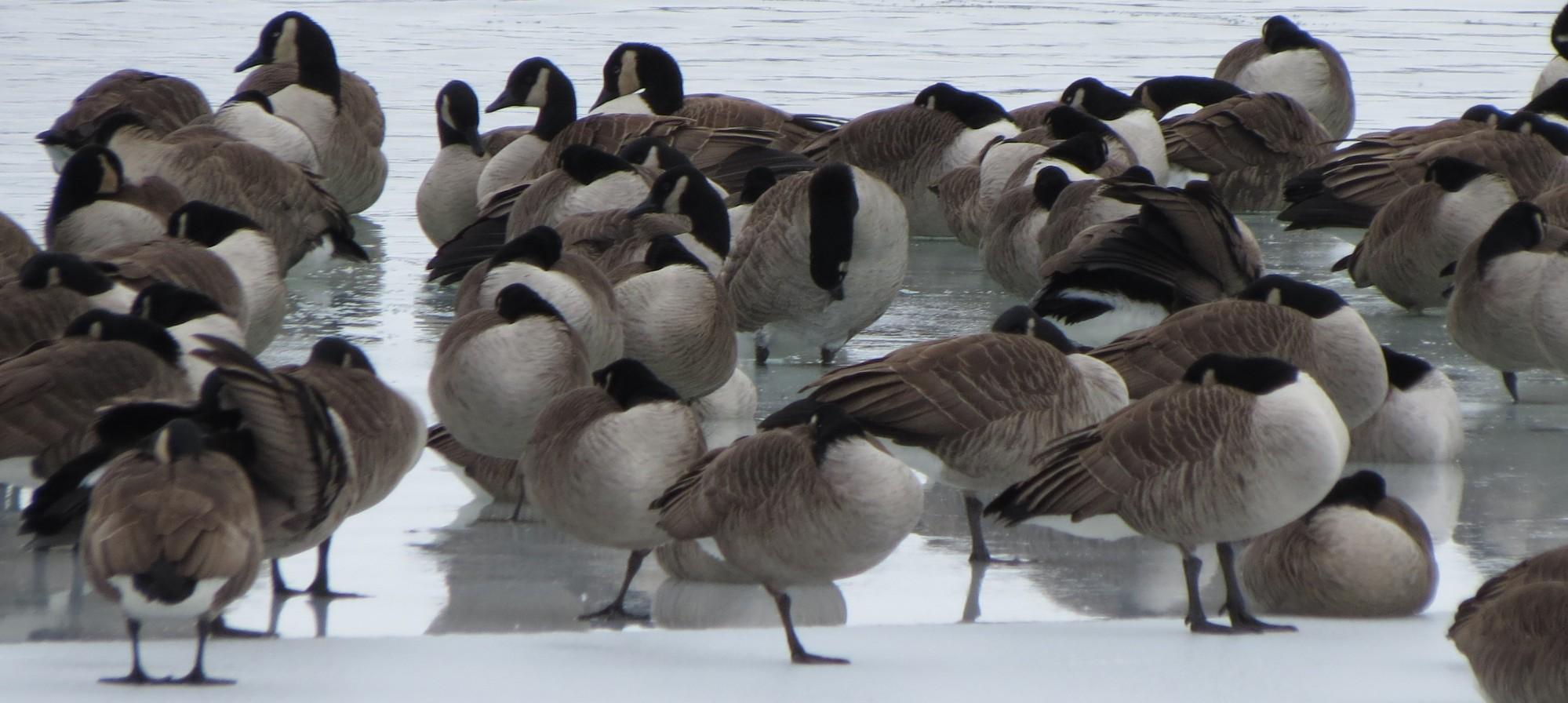 Canandaigua_Pier-Ducks