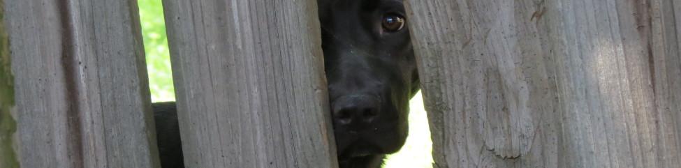 dog peeking through neighbors fence